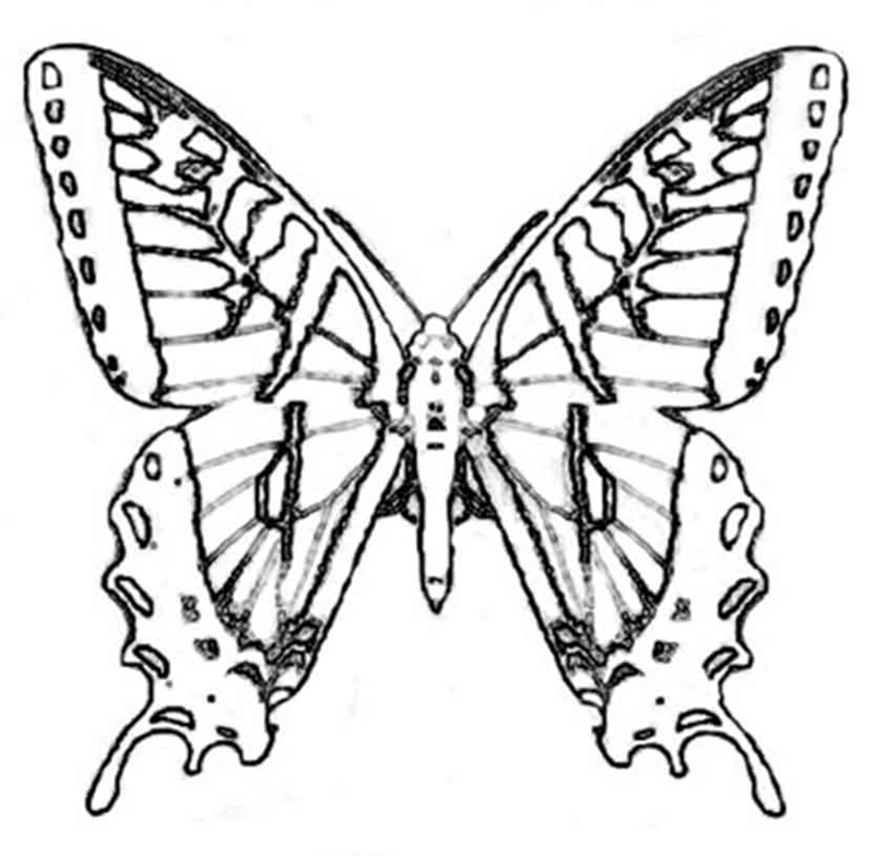 Butterfly Coloring Book Page Adult
